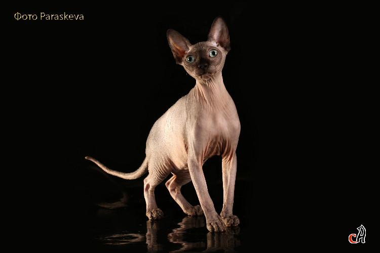Кошка Bonita Taba