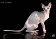Кошка Ch. Pavlinia Etranger