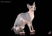 Кошка Ch.Pavlinia Etranger