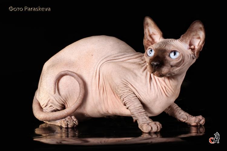 Кошка Ch. Alice Land Delica