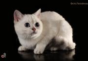 Кошка Ch. Jessika Zosya of White Raven