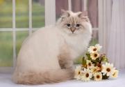 Кошка Ch. Ratibor Melissa