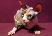 Кошка Ch. Junior Dorothy of White Raven