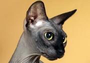 Кошка Int.Ch.Arabidopsis Etranger